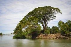 Don-det island. Big Tree - Don-det island, laos Mekong river royalty free stock image
