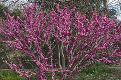 Free Don Egolf Chinese Redbud In Blossom. Royalty Free Stock Photography - 118491587