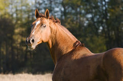 Don horse portrait in autumn Royalty Free Stock Images