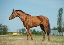 Don koń Zdjęcie Stock