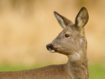 Don not look back. Female roe deer portrait during the moult Stock Image