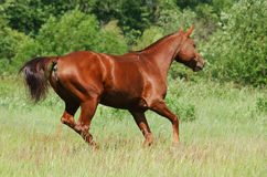 Don red sorrel mare. Mare of the Don breed in a floor Royalty Free Stock Photography