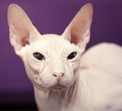 Don Sphinx cat closeup portrait. White Don Sphinx cat closeup portrait Royalty Free Stock Photo