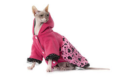 Don Sphinx cat dressed with jacket in front of white background Royalty Free Stock Photography