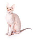 Don Sphinx (DONSPHINX) cat. Isolated on white background Royalty Free Stock Photo