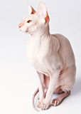 Don Sphinx (DONSPHINX) cat. On gray background Royalty Free Stock Images