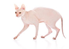 Don Sphinx (DONSPHINX) cat. Isolated on white background Royalty Free Stock Image