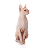 Don Sphinx (DONSPHINX) cat. Isolated on white background Stock Photography