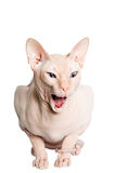 Don Sphinx (DONSPHINX) cat. Isolated on white background Stock Photos