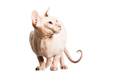 Don Sphinx (DONSPHINX) cat. Isolated on white background Stock Images