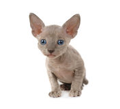 Don Sphinx kitten over white Royalty Free Stock Photography