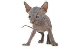 Don Sphinx kitty cat in studio Royalty Free Stock Image