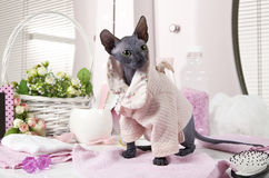 Don Sphinx kitty dressed in pajama Stock Photography