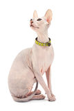 Don Sphynx. () cat. Isolated on white background Royalty Free Stock Image