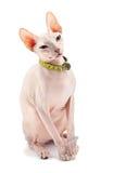 Don Sphynx. () cat. Isolated on white background Stock Photo