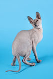 Don sphynx. On blue background Stock Photo