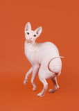 Don sphynx Stock Image