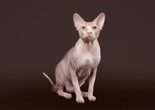 Don sphynx Royalty Free Stock Image