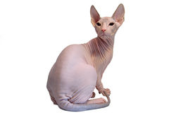 Don sphynx Stock Photography