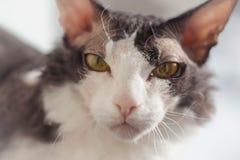 Don Sphynx Brash-kat tegen de achtergrond van eenvoudig vaag binnenland royalty-vrije stock foto's