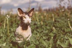 Don Sphynx Brush-Katze der Hintergrund der Natur lizenzfreies stockbild