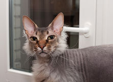 Don Sphynx brush standing against window Stock Images