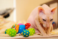 Don Sphynx cat Royalty Free Stock Photography