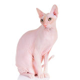Don Sphynx cat. Don Sphynx (DON SPHYNX) cat. Isolated on white background Royalty Free Stock Images