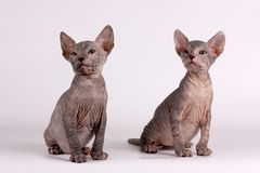 Don Sphynx cat on colored backgrounds. Studio photography of the don sphynx cat on colored backgrounds royalty free stock image