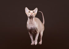 Don sphynx on dark brown Stock Photos