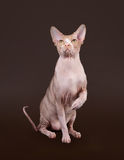 Don sphynx on dark brown Royalty Free Stock Photography