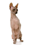 Don Sphynx on isolated white Royalty Free Stock Image