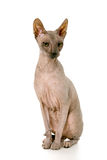 Don Sphynx on isolated white. Beauty Don Sphynx on isolated white stock photos
