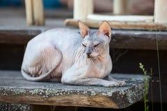 Don Sphynx-Katze, die auf hölzernem Portal liegt Stockfotos
