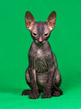 Don sphynx kitten. On a green background Stock Photography