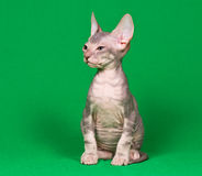 Don Sphynx Kitten Stock Images