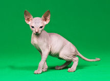 Don sphynx kitten. On a green background Stock Image