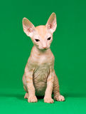 Don sphynx kitten Stock Images