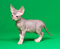 Don sphynx kitten. On a green background Royalty Free Stock Photography