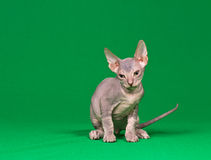 Don sphynx kitten. On a green background Royalty Free Stock Photos