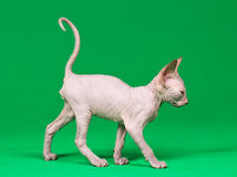 Don sphynx kitten. On a green background Stock Images