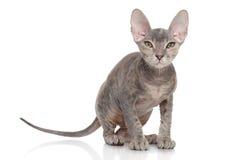Don Sphynx kitten. Portrait on white background stock photo