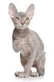 Don Sphynx kitten Royalty Free Stock Photo