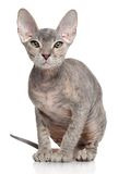 Don Sphynx kitten Stock Photos