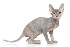 Don Sphynx kitten Stock Photo