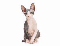 Don sphynx kitten on white Royalty Free Stock Photos