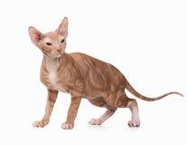 Don sphynx kitten on white Stock Images