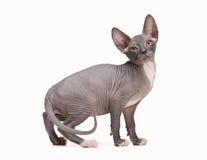 Don sphynx kitten on white Stock Photography