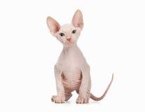 Don sphynx kitten on white Royalty Free Stock Images