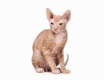 Don sphynx kitten on white Stock Photo